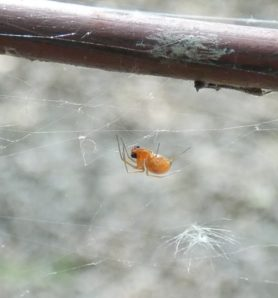 Picture of Linyphiidae (Money Spiders) - Lateral,Webs