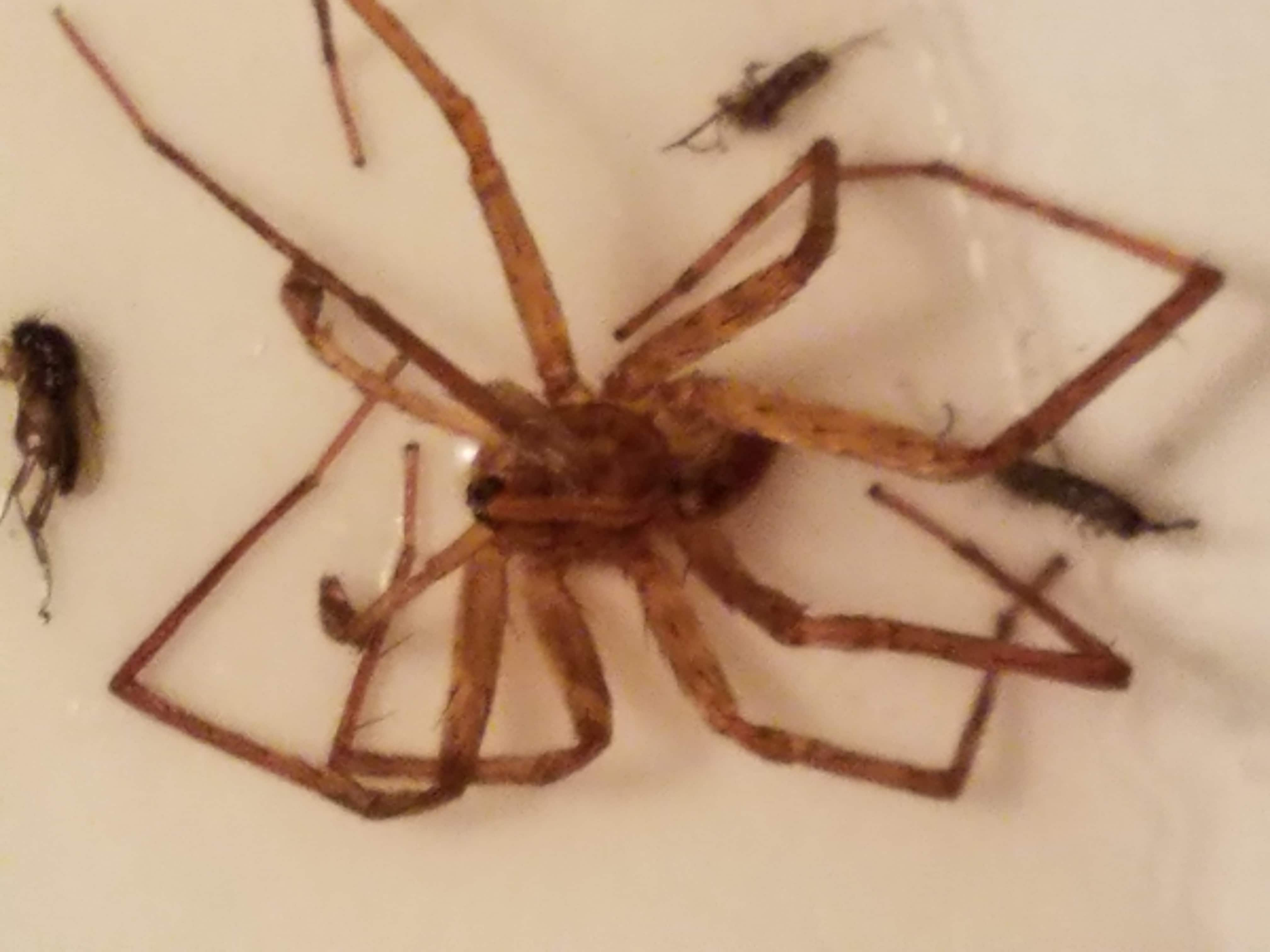 Picture of Anahita punctulata (Southeastern Wandering Spider) - Male - Dorsal