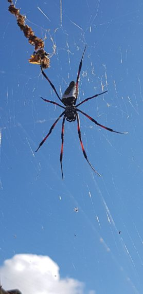 Picture of Trichonephila inaurata (Red-legged Golden Orb-weaver) - Dorsal