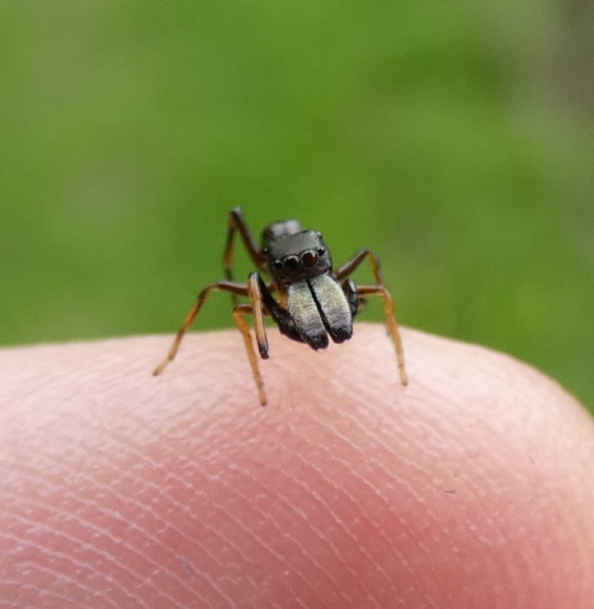 Picture of Myrmarachne formicaria - Male - Eyes