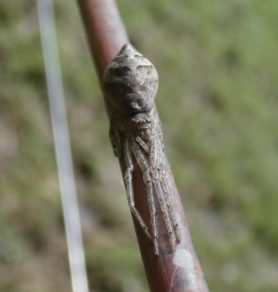 Picture of Tmarus angulatus - Dorsal,Eyes