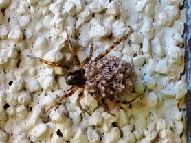 Picture of Allocosa spp. - Female - Dorsal,Spiderlings