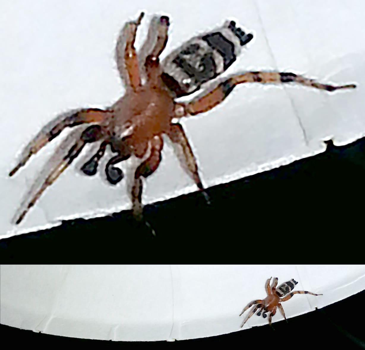 Picture of Sergiolus capulatus - Male - Dorsal