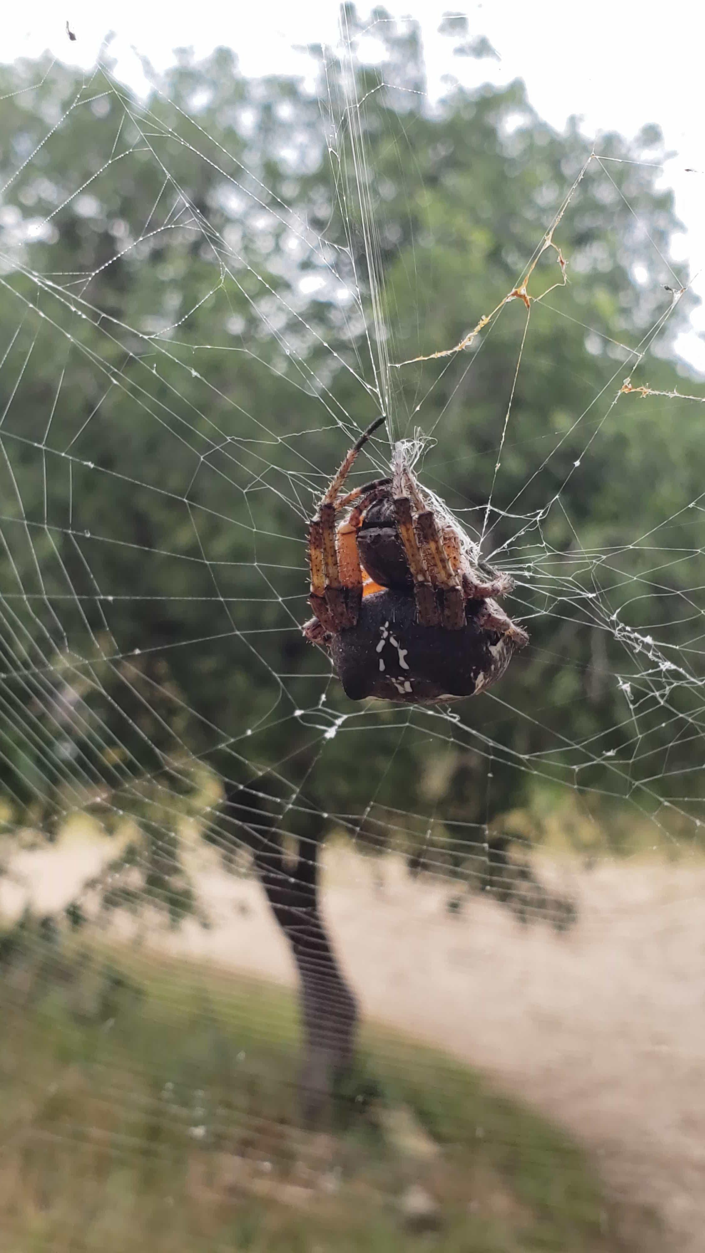 Picture of Araneus bicentenarius (Giant Lichen Orb-weaver) - Webs