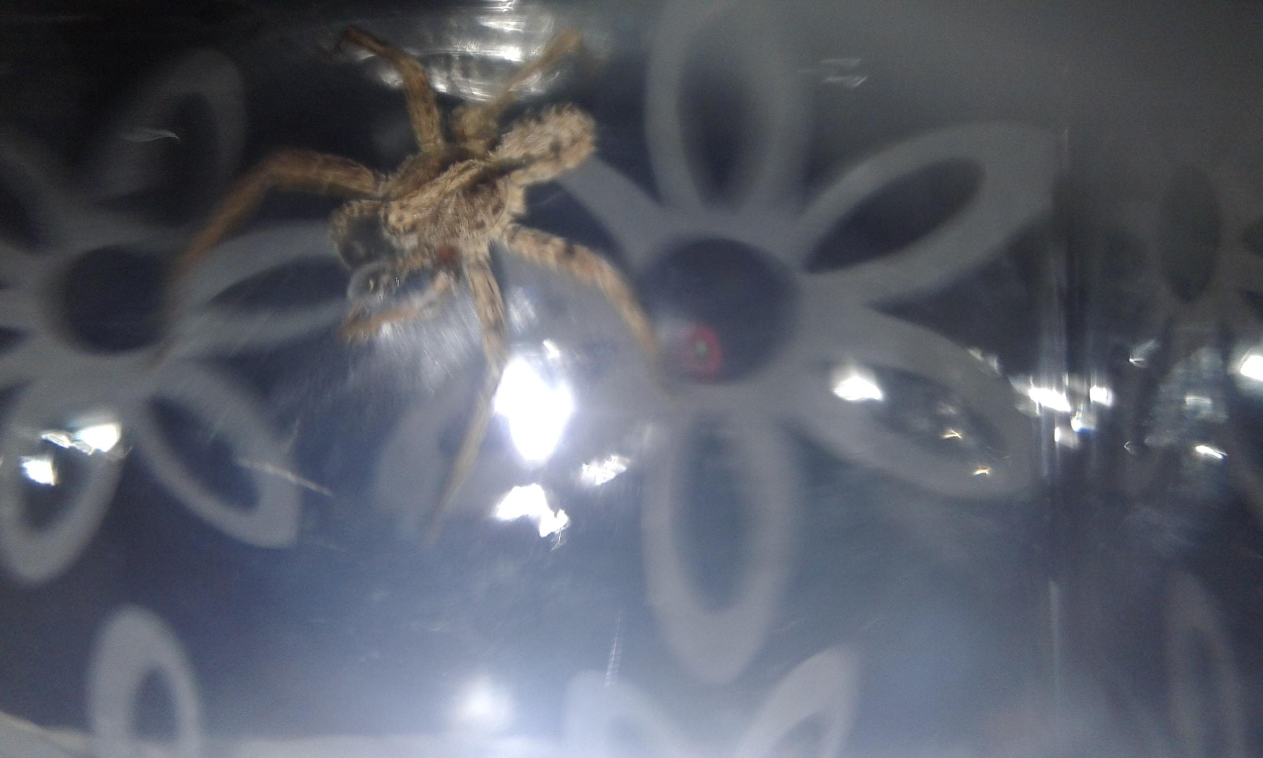 Picture of Ctenidae (Wandering Spiders) - Dorsal