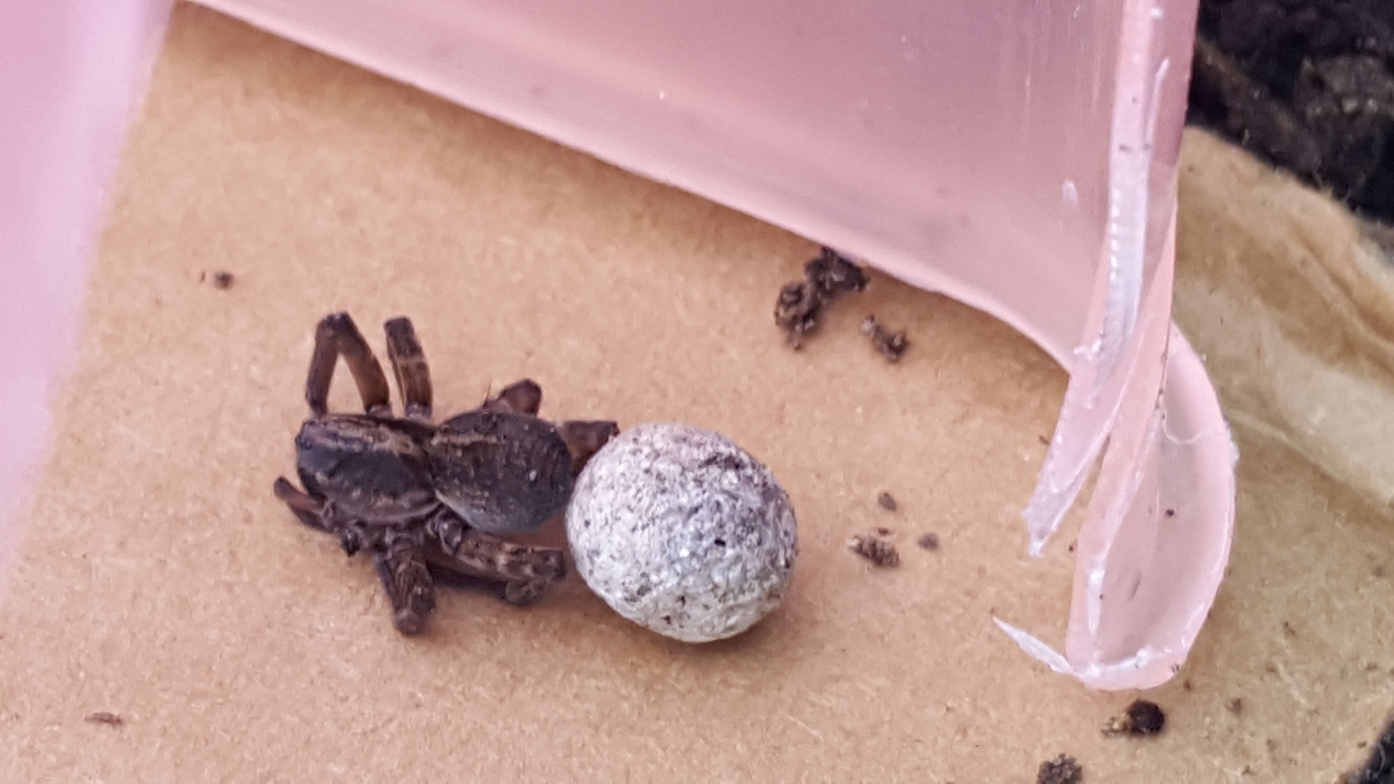 Picture of Trochosa terricola - Female - Dorsal,Egg sacs