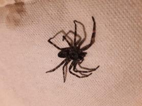 Picture of Dolomedes tenebrosus (Dark Fishing Spider)