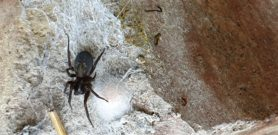 Picture of Amaurobius ferox (Black Lace-Weaver) - Female - Dorsal,Egg sacs,Webs
