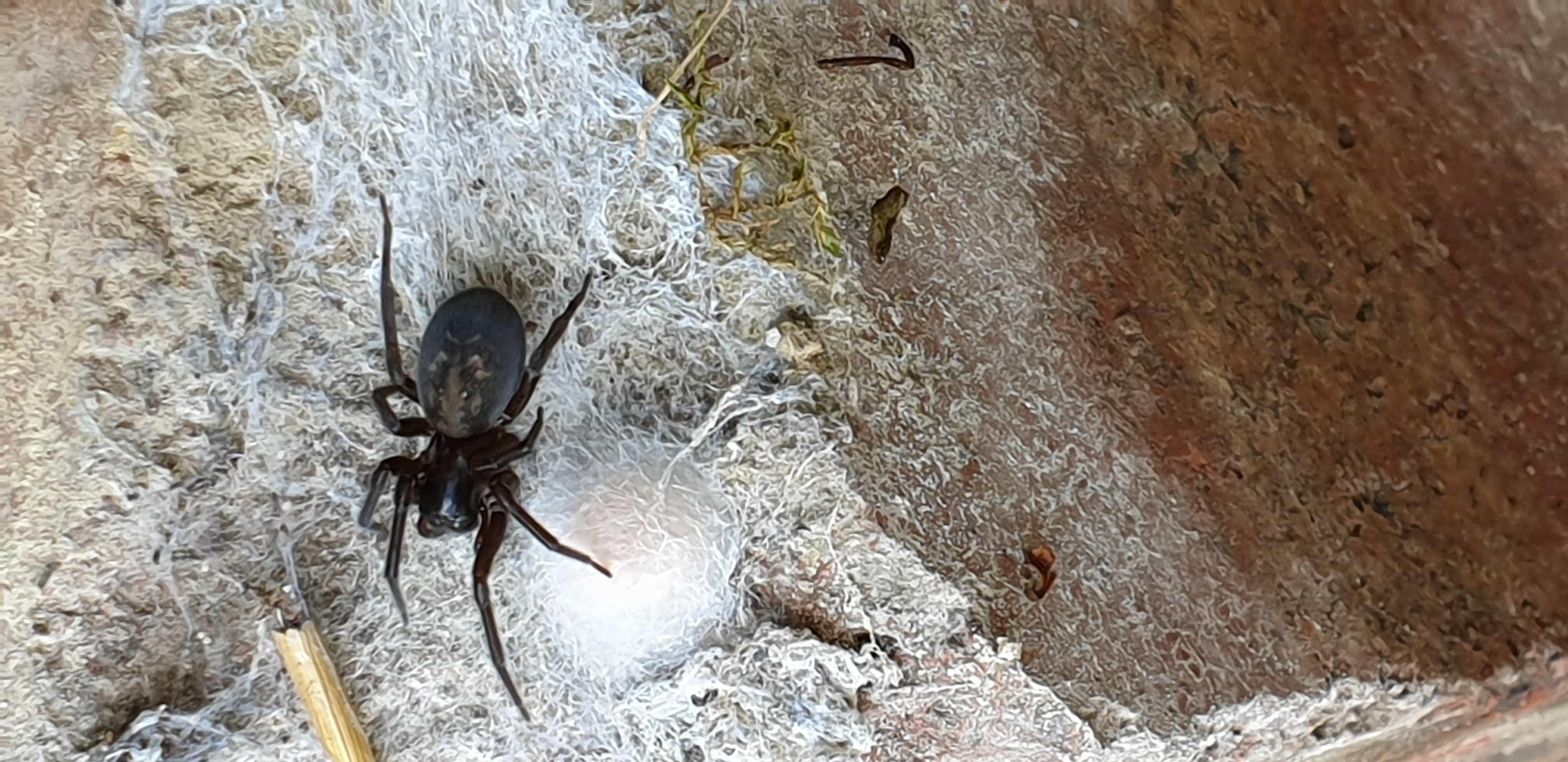 Picture of Amaurobius ferox (Black Lace-Weaver) - Female - Dorsal,Egg sacs,Webs