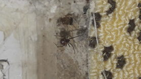Picture of Theridiidae (Cobweb Weavers) - Ventral