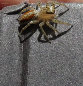 Picture of Maevia inclemens (Dimorphic Jumper) - Dorsal