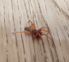 Picture of Dysdera crocata (Woodlouse Hunter) - Lateral