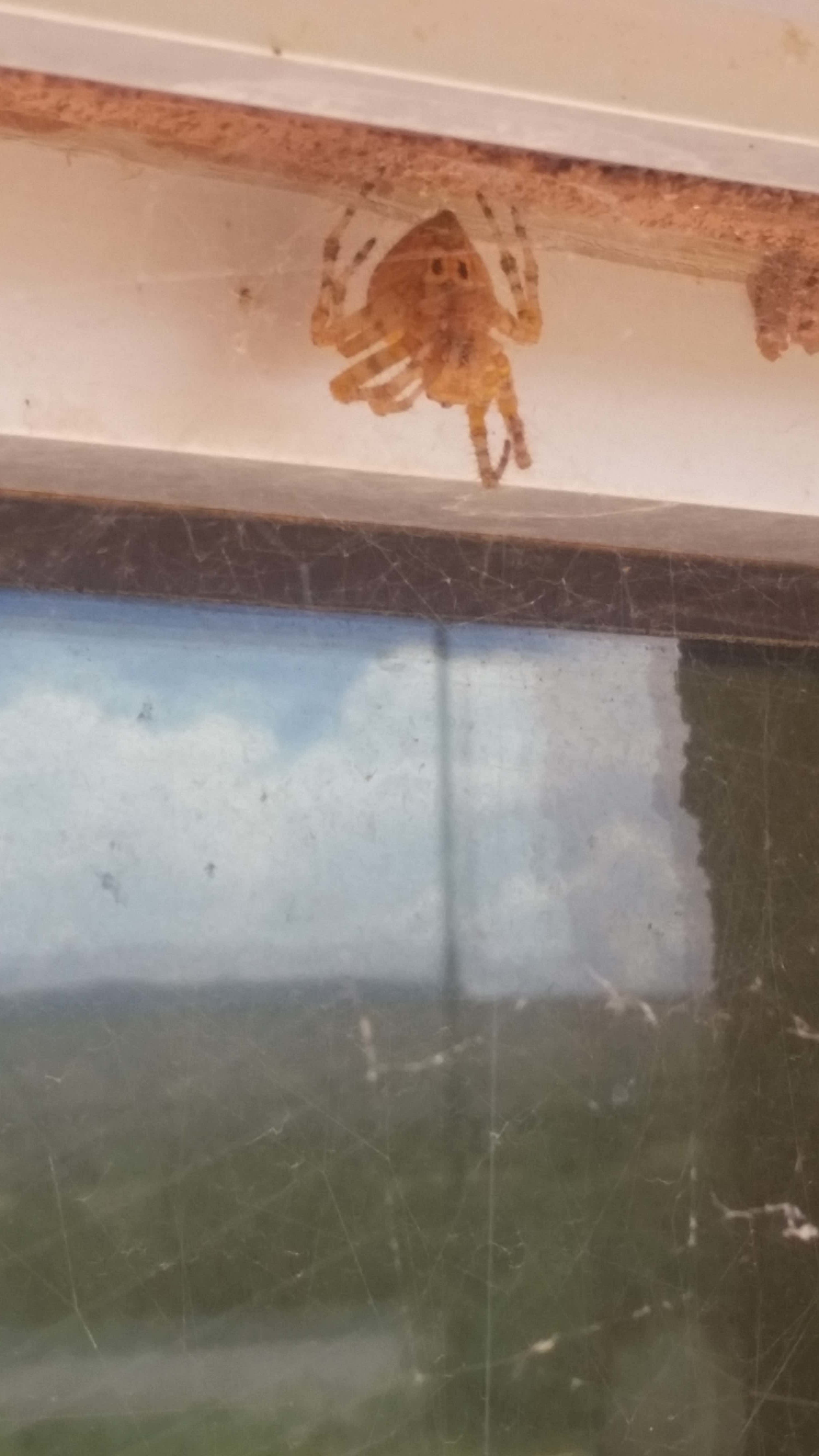 Picture of Araneus illaudatus (Texas Orb-weaver) - Ventral,Webs