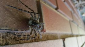 Picture of Dolomedes tenebrosus (Dark Fishing Spider) - Female - Egg sacs,Eyes