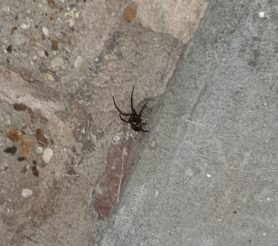 Picture of Steatoda spp. (False Widows)
