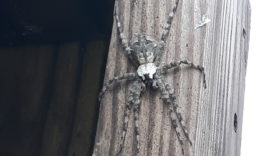 Picture of Dolomedes albineus (White-banded Fishing Spider) - Female - Dorsal