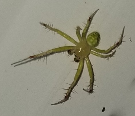 Picture of Araneus cingulatus (Red-spotted Orb-weaver) - Male - Dorsal