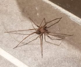Picture of Loxosceles spp. (Recluse Spiders) - Male - Dorsal