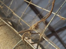 Picture of Neoscona spp. (Spotted Orb-weavers) - Webs
