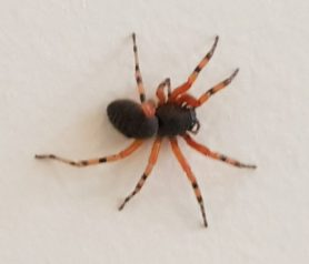 Picture of Trachelopachys spp. - Dorsal