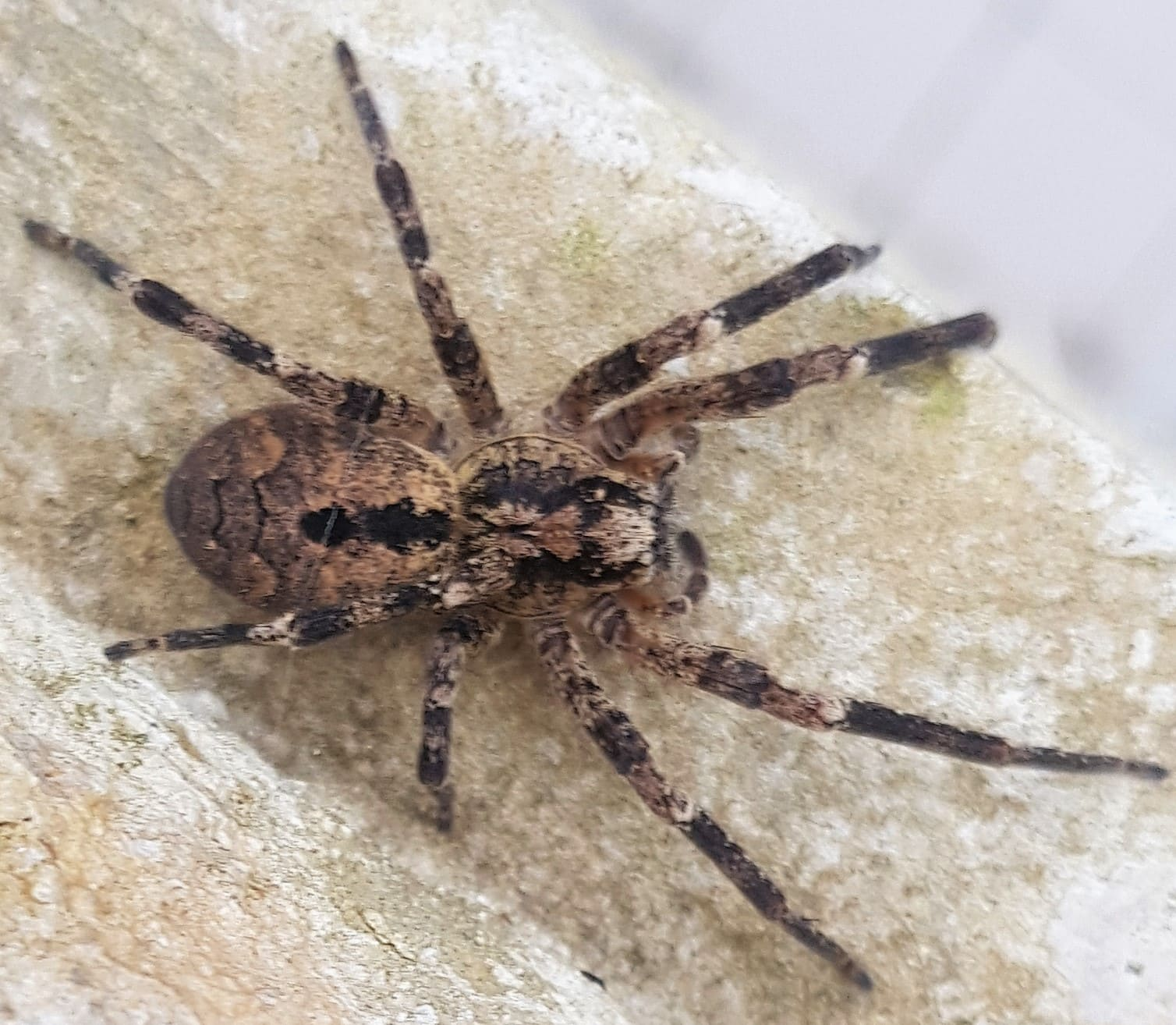 Picture of Zoropsis - Dorsal