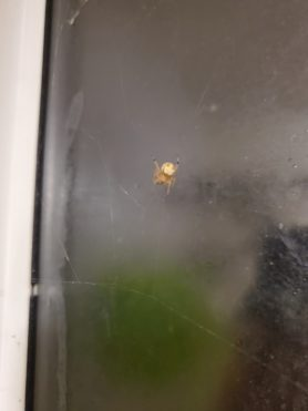 Picture of Araneus pegnia - Dorsal