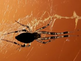 Picture of Zosis geniculata (Grey House Spider) - Dorsal,Webs