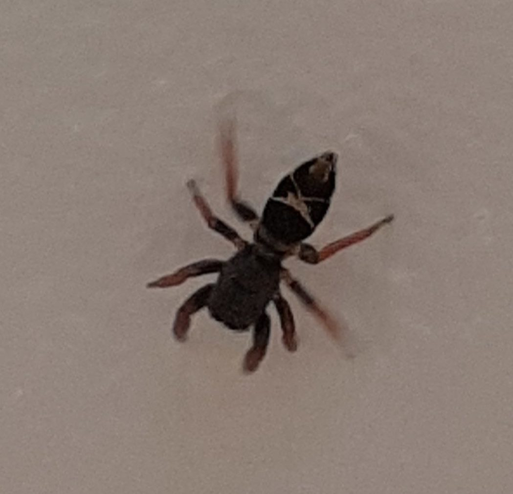 Picture of Apricia jovialis (Jovial Jumping Spider) - Dorsal