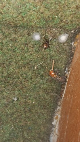 Picture of Steatoda triangulosa (Triangulate Cobweb Spider) - Female - Egg sacs