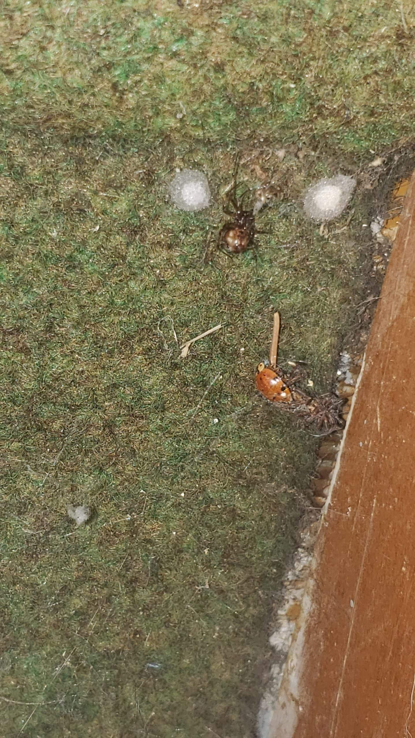Picture of Steatoda triangulosa (Triangulate Cobweb Spider) - Female - Egg sacs