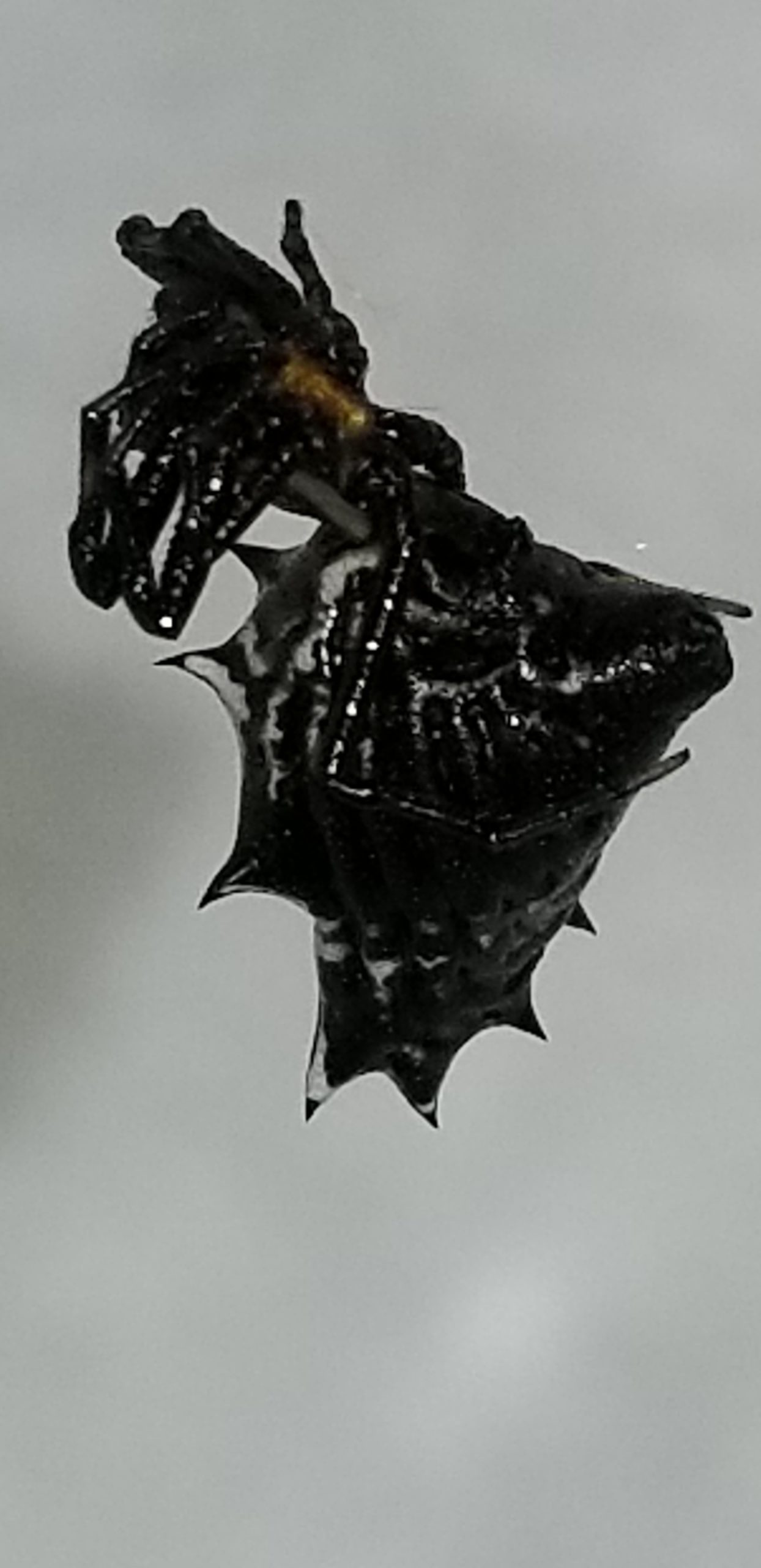Picture of Micrathena gracilis (Spined Micrathena) - Female - Lateral