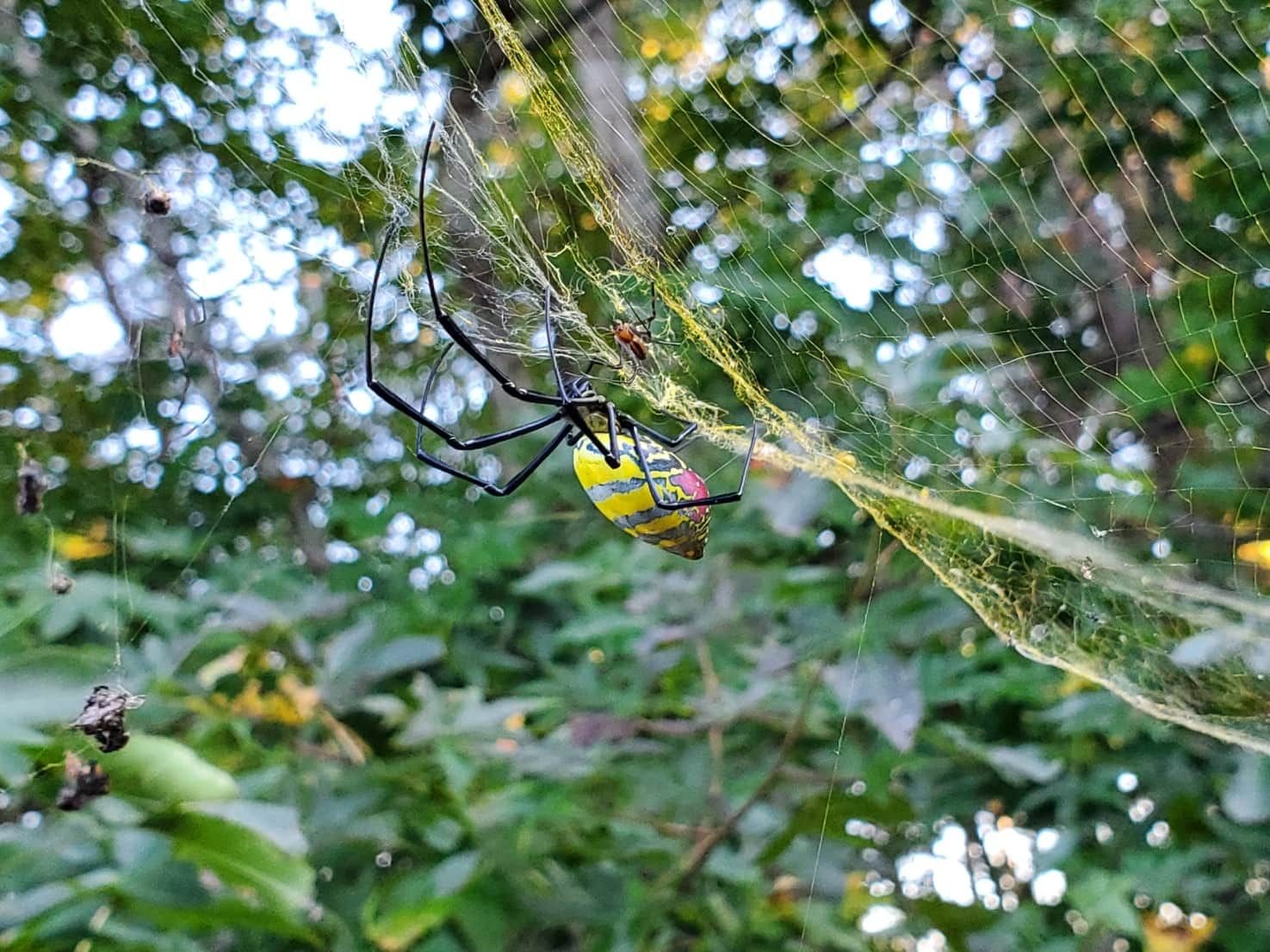 Picture of Trichonephila clavata (Joro spider) - Male,Female - Lateral,Webs
