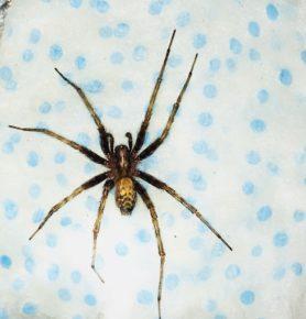 Tegenaria Domestica Barn Funnel Weaver Spider