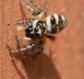 Picture of Salticus scenicus (Zebra Jumper) - Dorsal,Eyes