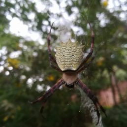 Featured spider picture of Argiope flavipalpis