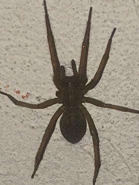 Picture of Eratigena agrestis (Hobo Spider) - Dorsal