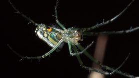 Picture of Leucauge venusta (Orchard Orb-weaver) - Female - Ventral