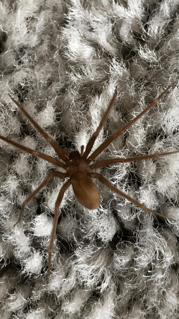 Picture of Loxosceles rufescens (Mediterranean Recluse) - Dorsal