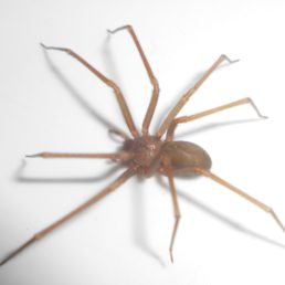 Featured spider picture of Loxosceles rufescens (Mediterranean Recluse)