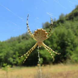 Featured spider picture of Argiope lobata (Lobed Argiope)