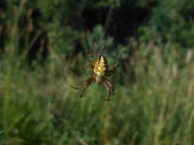 Picture of Neoscona spp. (Spotted Orb-weavers) - Dorsal,Webs