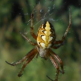 Featured spider picture of Neoscona adianta (Bordered Orb-weaver)