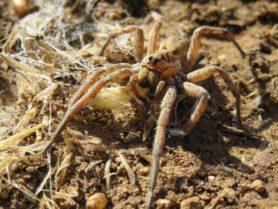 Picture of Hogna spp. - Eyes,Webs,Prey