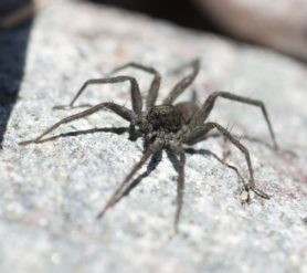 Picture of Pardosa spp. (Thin-legged Wolf Spiders) - Eyes,Lateral