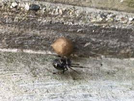 Picture of Parasteatoda tepidariorum (Common House Spider) - Female - Dorsal,Egg sacs