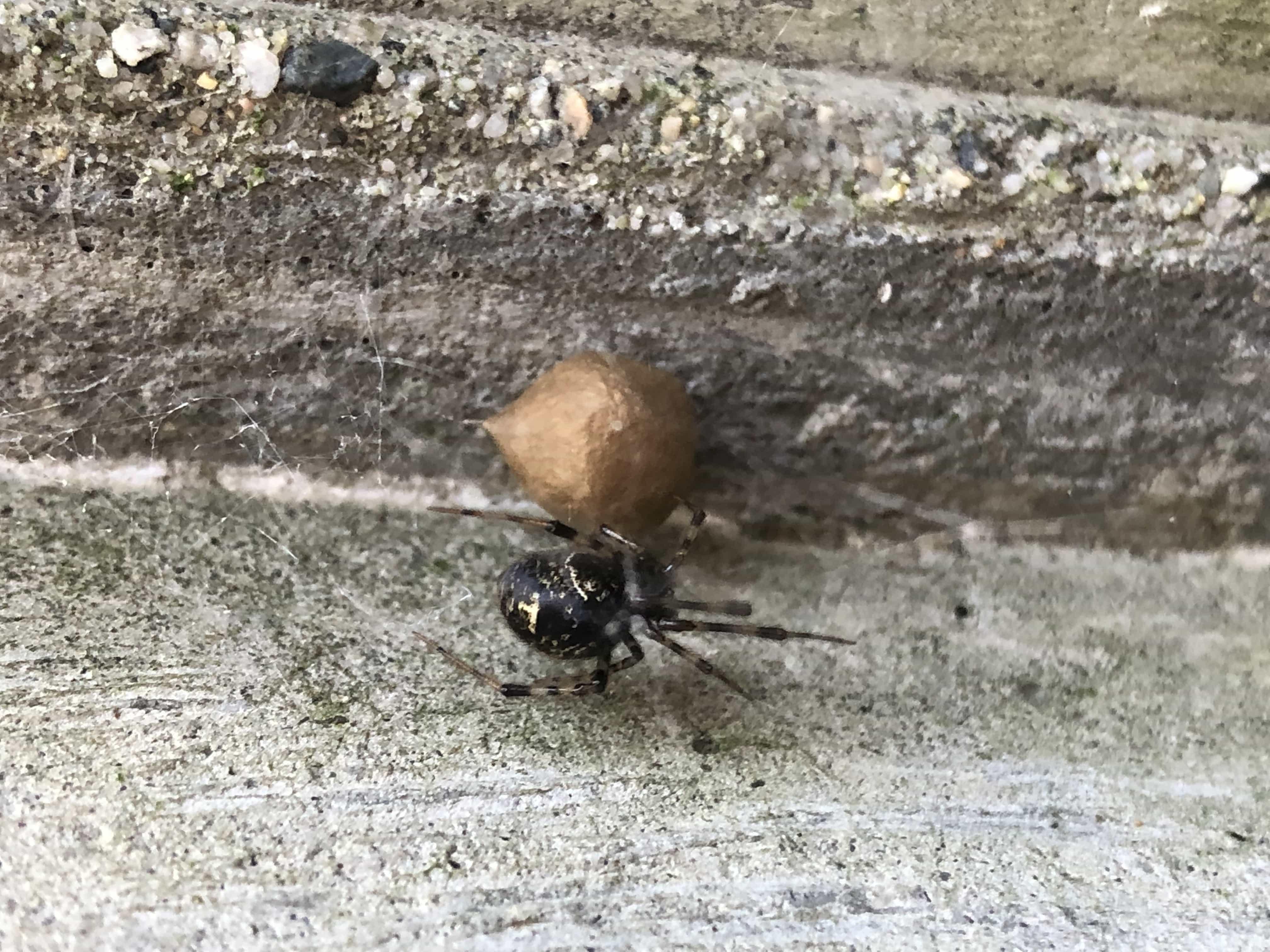 Picture of Parasteatoda tepidariorum (Common House Spider) - Female - Dorsal,Egg sacs