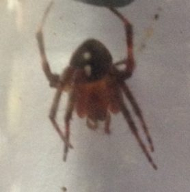 Picture of Araneidae (Orb-weavers) - Dorsal
