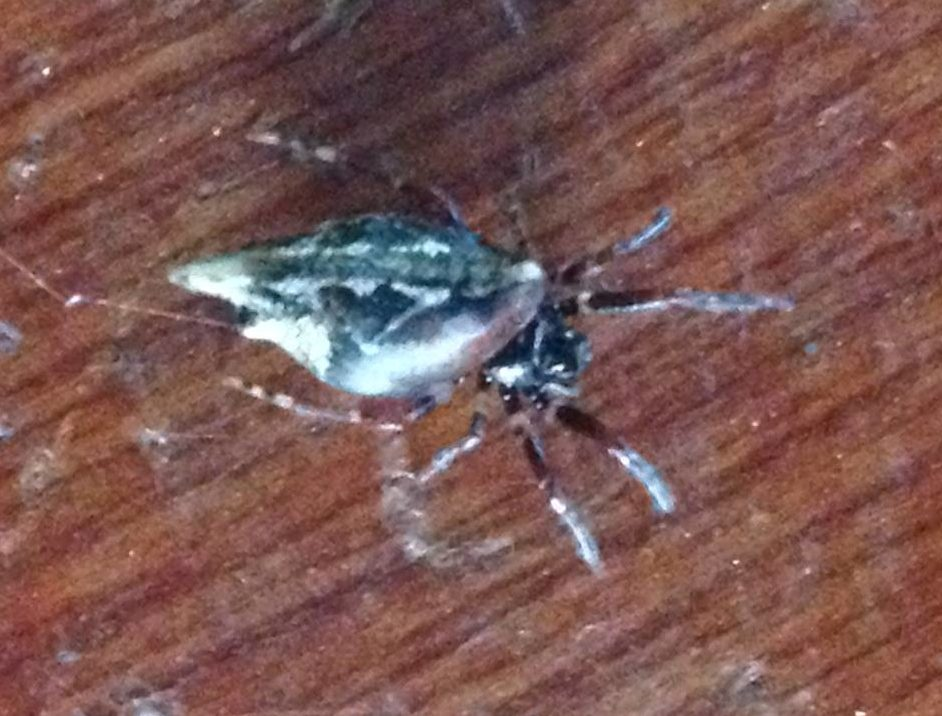 Picture of Cyclosa (Trashline Orb-weavers) - Dorsal