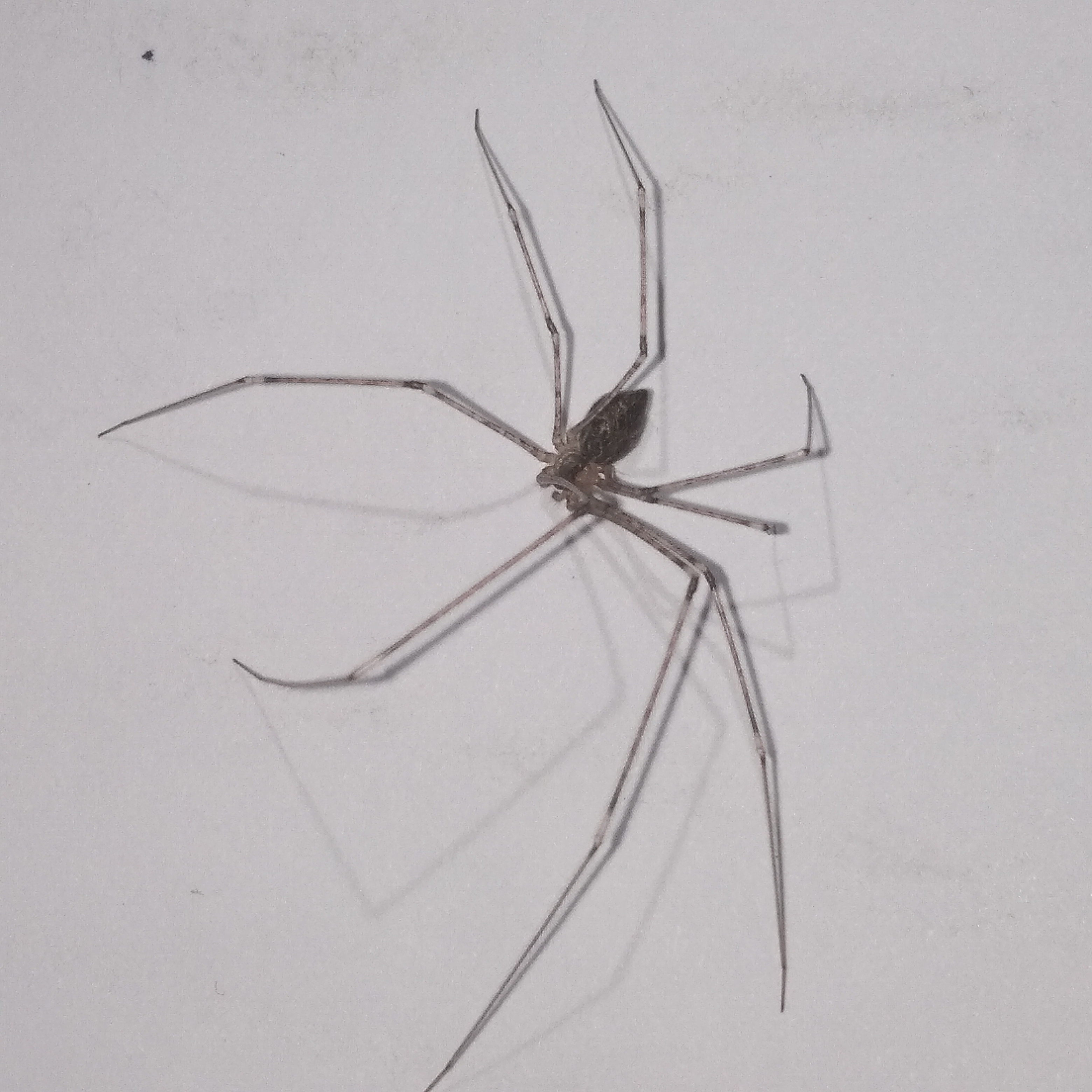 Picture of Crossopriza lyoni (Tailed Daddy Longlegs) - Dorsal
