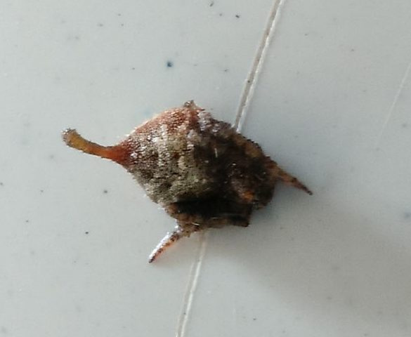 Picture of Eriovixia - Dorsal